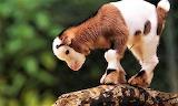 #Baby Goat