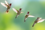 HummingBird-flight