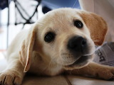 Golden-Labrador-puppy