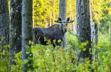 Moose, forest, trees, grass, nature