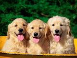 Three Golden Retriever Puppies...