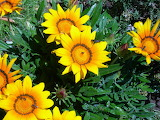 Gazanias flowers yellow orange flowering insects buds summer