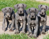 Dog Breed - Great Dane Puppies