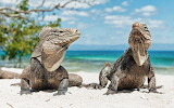 Pair of Iguanas On Beach or Doris Your Chin is Sagging