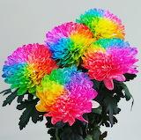 ^ Dyed Rainbow Mums