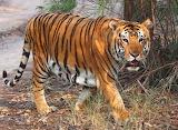 Tiger-iv