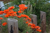 ^ Poppies in the garden