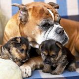 Bulldog Family...