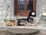 Cat Dog Deer on doorstep