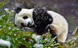 Giant panda cub. Wolong National Nature Reserve. Sichuan provinc