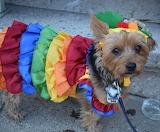#Carmen Miranda Puppy