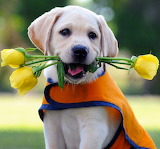 Cute Seeing Eye Labrador Puppy...