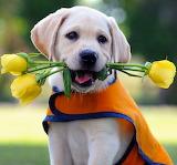 Cute Seeing Eye Labrador Puppy...