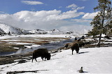 Bison grazing along Firehole River