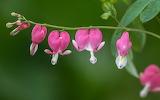 Flowers - Bleeding hearts