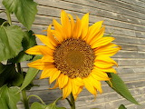 Sunflowers @ freeimages.com...