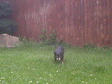 Jameson aka Fatman my dog in backyard