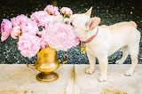 French Bulldog and Flowers