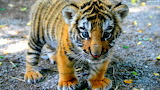 Cute tiger kitten