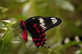 Crimson-rose butterfly