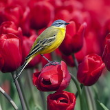 Yellow Bird on Red Tulips...