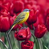 Yellow Bird on Red Tulips...