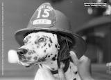 ASC10453-Dog-Sparks-HamiltonFireDept-1960-cropped