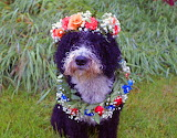 Midsummer dog