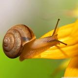 ☺Brown Snail...