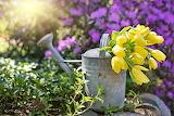 Watering-can, vintage, flowers, tulips