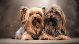 Yorkshire-terrier-cute-dog-twins