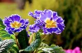 Flores521