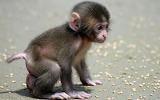 Baby-monkey-cute-walking-little 288893