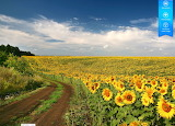 Dirt road through Kansas USA meadow covered with sunflowers by a