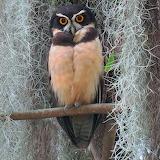 Birds - Spectacled Owl