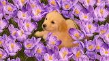 #Cute Puppy Among Purple Crocuses