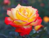 Sublime rose bicolore