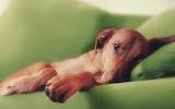 dog-sofa