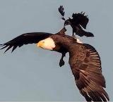 Picked on eagle