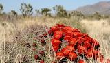 Mojave-desert-cactus-flower-spring dp 680