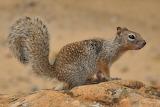 Rock Squirrel Zion National Park