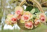 Roses, noble roses, flowers, basket, pink