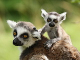Mother ring-tailed lemur and baby