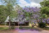 Beautiful Jacaranda in Moreton Bay Qld