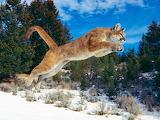 Puma-saltando