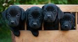 Black Labbies