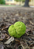 Osage Orange at Mordecai