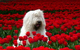 SheepDogInRedTulips