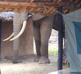 Giant Tusker Visits Our Tent