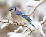 #Blue Jay